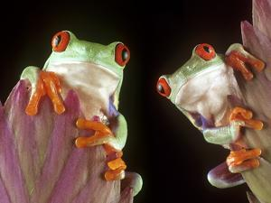 Red-Eyed Tree Frogs by David Aubrey