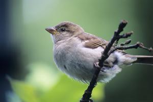 Sparrow by David Aubrey