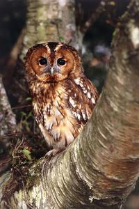 Tawny Owl by David Aubrey