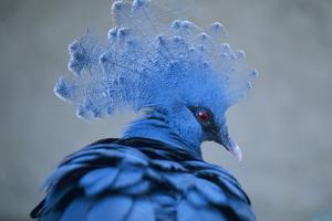 Victoria Crowned Pigeon by David Aubrey