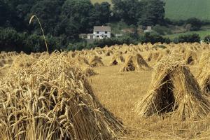 Wheat Sheaves (Triticum Sp.) by David Aubrey
