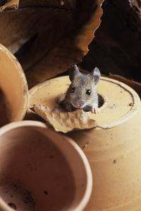 Woodmouse Peeering Out of a Flowerpot by David Aubrey