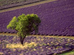 Lavender Field in High Provence, France by David Barnes