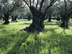 Groves of Olive Trees, Island of Naxos, Cyclades, Greece, Europe by David Beatty