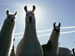 Close-up of Three Llamas by David Boyer
