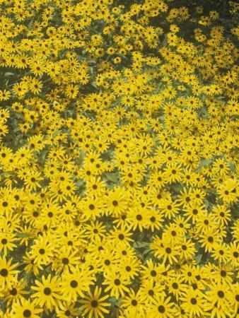 Black-Eyed Susans, Rudbeckia Fulgida Deamii, Asteraceae, North America