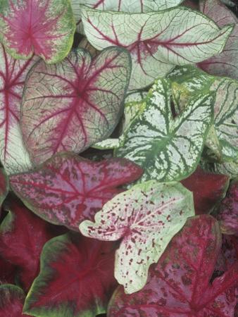 Caladium Leaf Variety