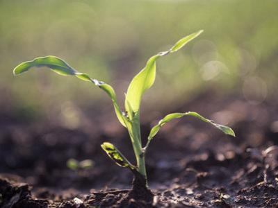 Corn Seedling, Zea Mays