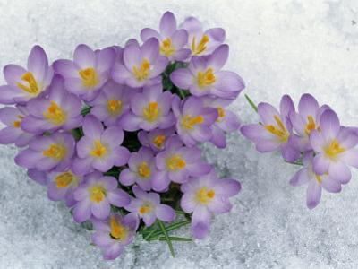 Crocus Flowering in the Snow