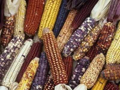 Heirloom Corn Varieties, Zea Mays