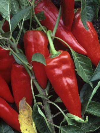 Peppers, Hot Shot Variety