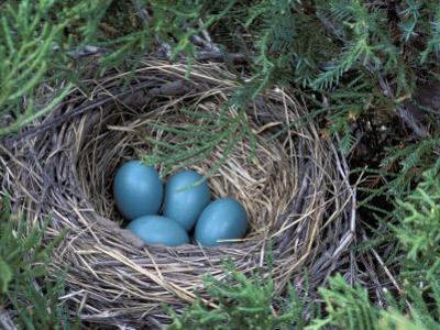Robin Nest with Eggs, Turdus Migratorius, USA