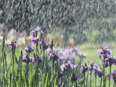 Siberian Iris Garden Flowers in the Rain