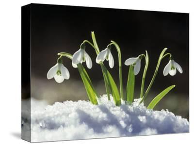 Snowdrop Flowers Blooming in the Snow, Galanthus Nivalis