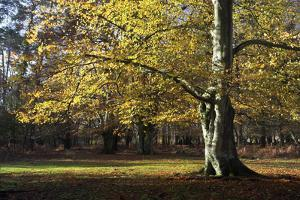Autumn Beech Tree in the New Forest, Hampshire, England by David Clapp
