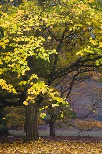 Autumn Trees at Westonbirt, Gloucestershire, England by David Clapp