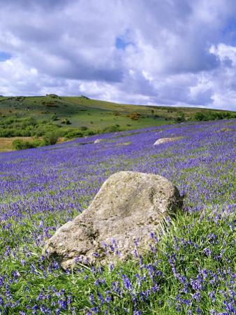 Bluebells in Open Pasture, Halwell Lawn, Devon, UK