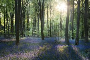Sunlight Through Trees in Bluebell Woods, Micheldever, Hampshire, England by David Clapp