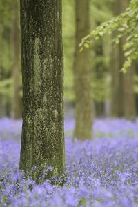 Tree in Bluebell Forest, Ashridge, Hertfordshire, England by David Clapp