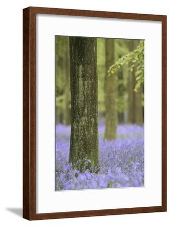 Tree in Bluebell Forest, Ashridge, Hertfordshire, England