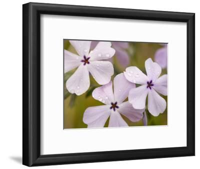 Longleaf Phlox Flowers (Phlox Longifolia), Columbia River Gorge, Oregon, USA
