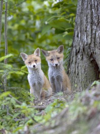 Red Fox, Fox Cubs Outside Den, Vaud, Switzerland