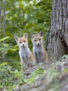 Red Fox, Fox Cubs Outside Den, Vaud, Switzerland by David Courtenay