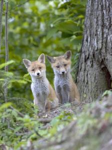 Red Fox, Fox Cubs Outside Den, Vaud, Switzerland by David Courtenay