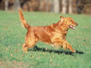 Golden Retriever Running by David Davis