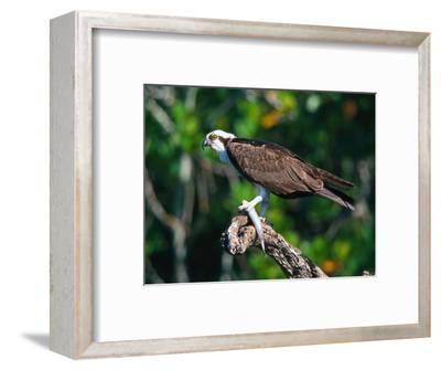 Osprey (Pandion Haliaetus) with Fish