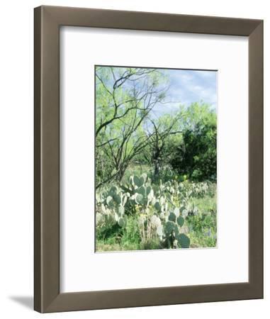 Prickly Pear Cactus, Texas