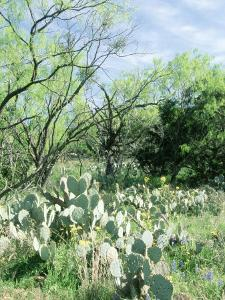 Prickly Pear Cactus, Texas by David Davis