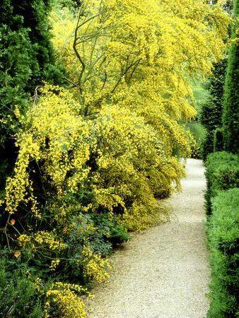 Bright Yellow Flowering Spiny Shrub Genista Syn. Chamaespartium (Broom), Oxfordshire Garden