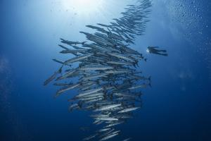 A 60-Foot-Tall Tower of Chevron Barracuda Rises Past a Marine Biologist by David Doubilet