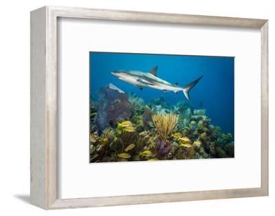 A Caribbean Reef Shark Patrols Gardens of the Queen National Marine Park in Cuba