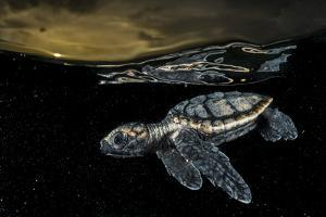 A Critically Endangered Hawksbill Sea Turtle Hatchling Paddles Away from Shore by David Doubilet
