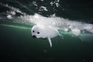 A Days Old Harp Seal Pup Learns to Swim in the Gulf of Saint Lawrence by David Doubilet