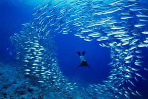 A Galapagos Sea Lion Blasts Through a School of Salema Looking for a Meal in the Galapagos Islands by David Doubilet