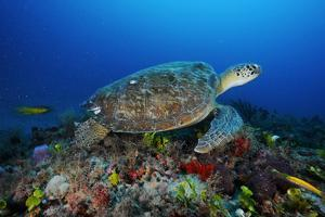 A Green Sea Turtle Swims Off the Esso Bonaire Shipwreck Artificial Reef by David Doubilet