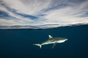 A Grey Reef Shark Swims in Kimbe Bay by David Doubilet