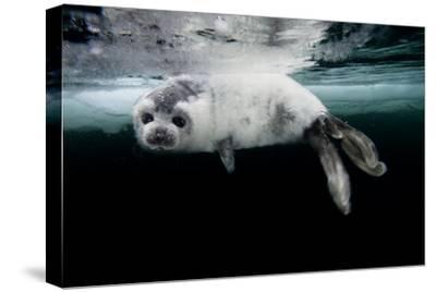 A Harp Seal Pup Learns to Swim in the Gulf of Saint Lawrence