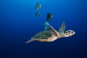 A Hawksbill Sea Turtle and Batfish Swim in Kimbe Bay's Jayne's Gulley by David Doubilet