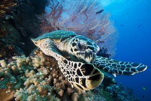 A Hawksbill Sea Turtle Swims in Kimbe Bay's Jayne's Gulley by David Doubilet