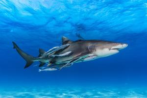 A Lemon Shark, Negaprion Brevirostris, with Many Remoras, Swimming in a Shark Sanctuary by David Doubilet