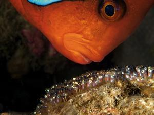 A Male Tomato Clownfish Tends to His Developing Eggs by David Doubilet