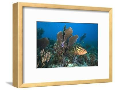A Nassau Grouper Swims in the Rich Coral Reefs of Gardens of the Queen