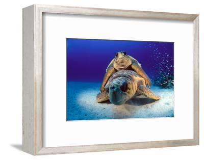 A Pair of Endangered Loggerhead Sea Turtles, Caretta Caretta, Mating