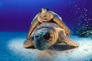 A Pair of Endangered Loggerhead Sea Turtles, Caretta Caretta, Mating by David Doubilet