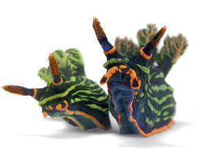 A pair of toxic Nembrotha kubaryana nudibranchs by David Doubilet