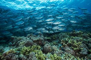 A school of jacks swim above coral on Tubbataha Reef's South Atoll. by David Doubilet